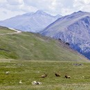 Elk lie on tundra grass with mountain backdrop