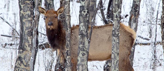 An elk in an aspen tree stand in the winter