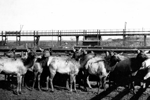 Elk from Yellowstone National Park were reintroduced to Rocky in 1913 and 1914.