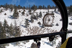 aerial view of elk from a helicopter survey