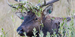 elk in willow vegetation