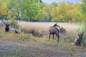 Elk browse next to a fence protecting aspen habitat
