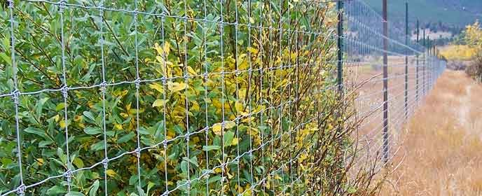 A willow shrub browsed outside an elk fence