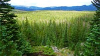 Photo of Spruce and Fir Forest