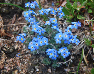Photo of Alpine Forget-me-not