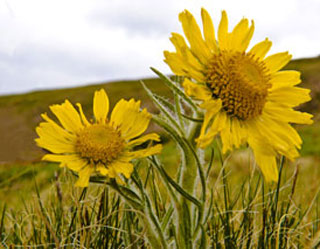 Photo of Alpine Sunflower