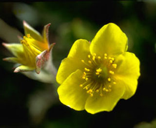 Photo of Alpine Avens