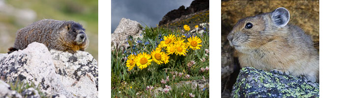 A marmot on a rock. Small flowers in the alpine. A pika.