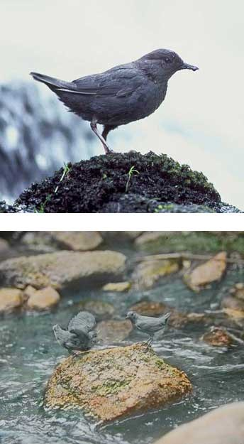 American dipper on rocky stream