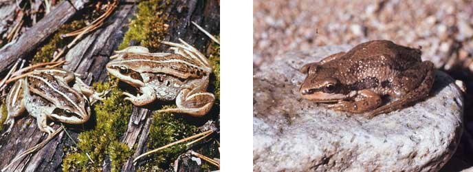 Wood frogs and Boreal Chorus frog