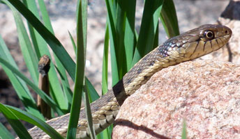garter snake slithers up a rock