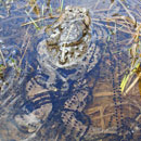 Boreal toad swims in water