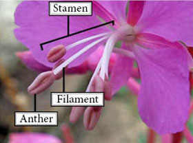 Photo of stamens, anthers and filaments of a Common Fireweed