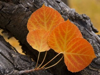 Photo of red and orange Aspen leaves.