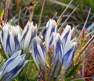 photo of Arctic Gentian