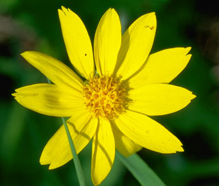 Photo of Heart-Leaved Arnica