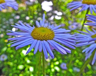 Blue Amp Purple Wildflowers Rocky Mountain National Park
