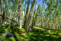 Photo of an Aspen Grove