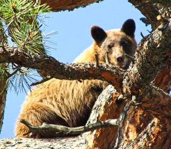 black bear sits in a tree