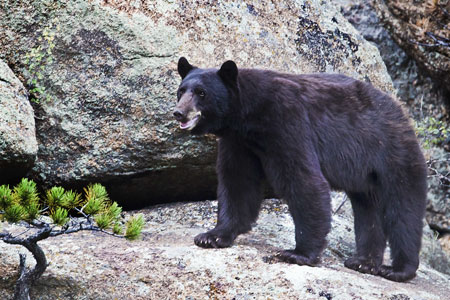 https://www.nps.gov/romo/learn/nature/images/Bear_Whole_450x300.jpg
