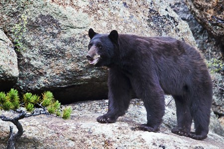 Black bear stands on a rock