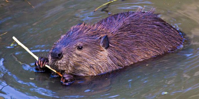 Beaver chews on a stick in the water