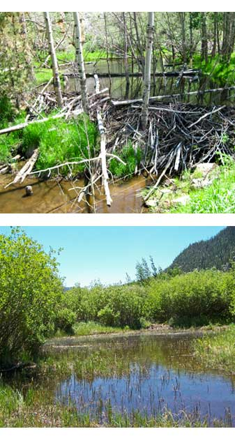 Beaver dams in aspen and willow communities