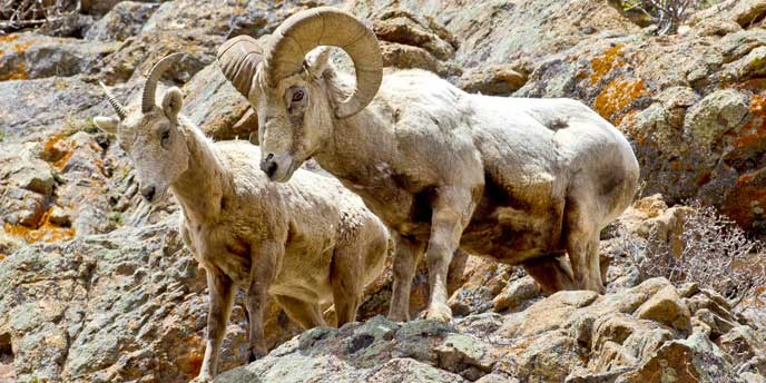 Bighorn Ram And Ewe On A Cliff