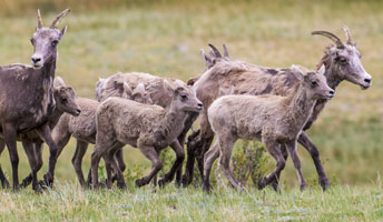 Bighorn ewes and lambs running