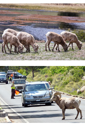 Bighorn sheep eating soil and sheep lakes and crossing road with cars