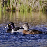 Male and female Ring-necked duck in the water