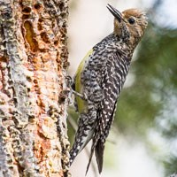 Female Williamson's Sapsucker