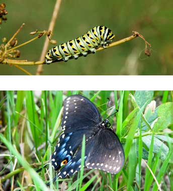 Eastern black swallowtail butterfly caterpillar and adult