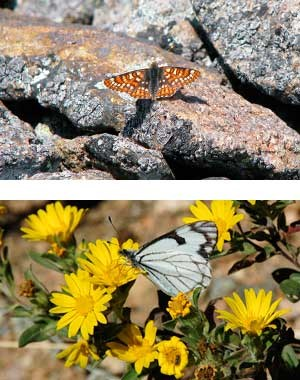 Anicia Checkerspot sunning on a rock and a Pine white on a yellow flower