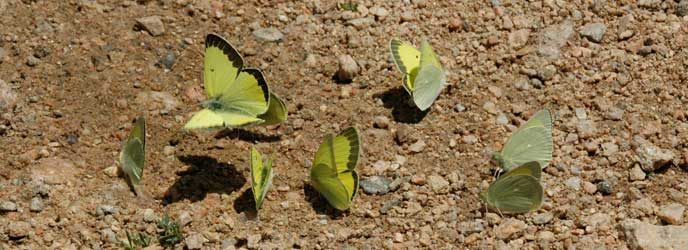 A group of Alexandra's Sulphur butterflies on the ground