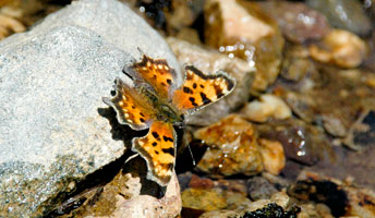 Green Comma butterfly (Polygonia faunus)