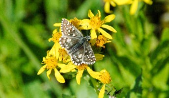 Grizzled Skipper on a flower