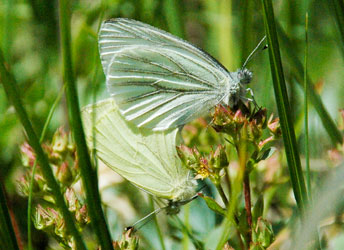 Two Margined white butterflies (Pieris marginalis)