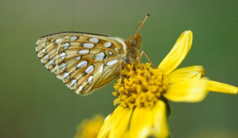 Mormon Fritillary butterfly on a yellow flower