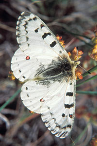 Rocky Mountain Parnassian (Parnassius smintheus)