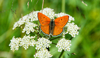 Ruddy Copper (Lycaena rubidus)