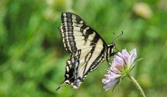 A Western Tiger Swallowtail (Papilio rutulus)