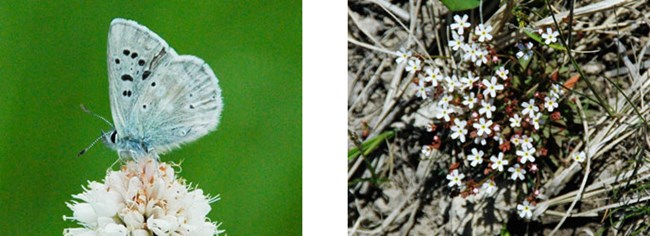 ArcticBlue (Plebejus glandon) and Northern Rock Jasmine (Androsace septentrionalis)_688x250