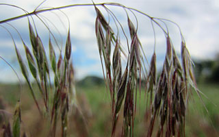Photo of Cheat Grass