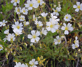Photo of Field Mouse-ear Chickweed