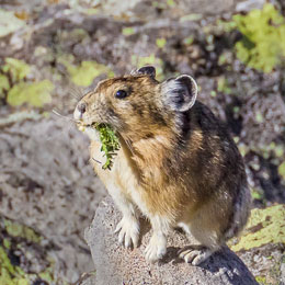 Pika gathering plants