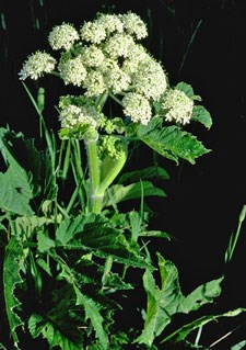 Photo of Cow Parsnip