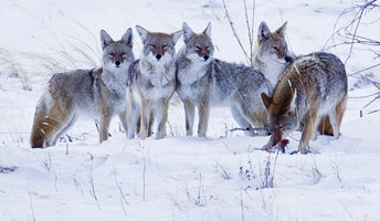 Coyote pack with a kill