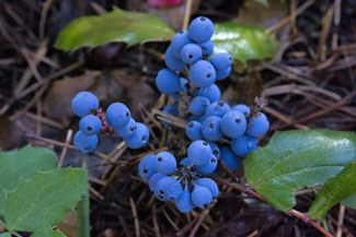 Photo of Creeping Oregon-grape berries