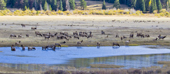 elk herd in a wet meadow